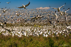 Skagit Valley, snow geese, frenzy, take off, birds