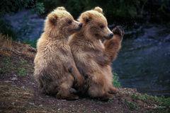 grizzly, cubs, Katmai, Alaska, amen, cute
