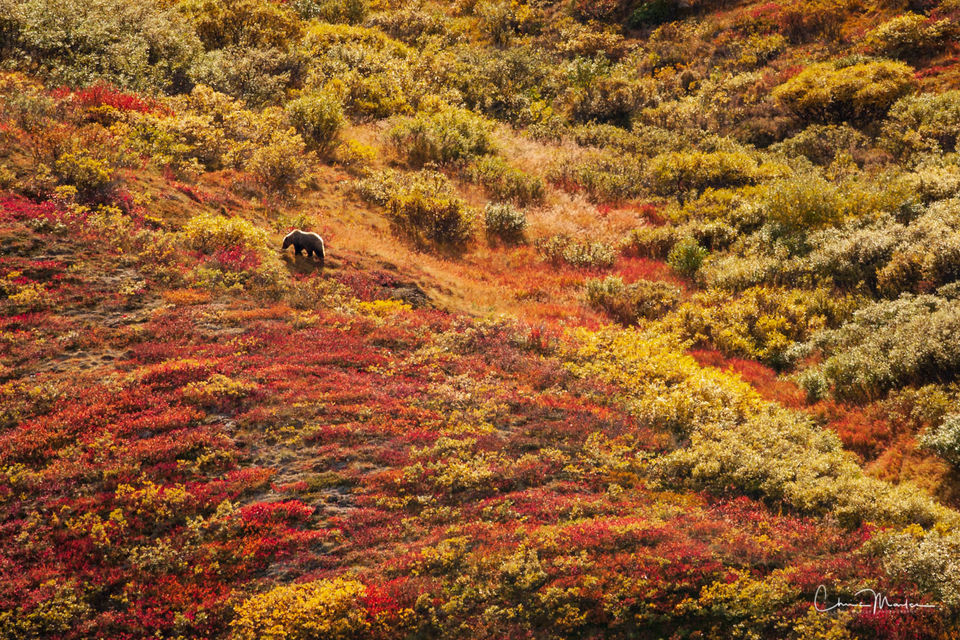 Grizzly, bear, Denali National Park, Alaska, autumn, hillside, wildlife