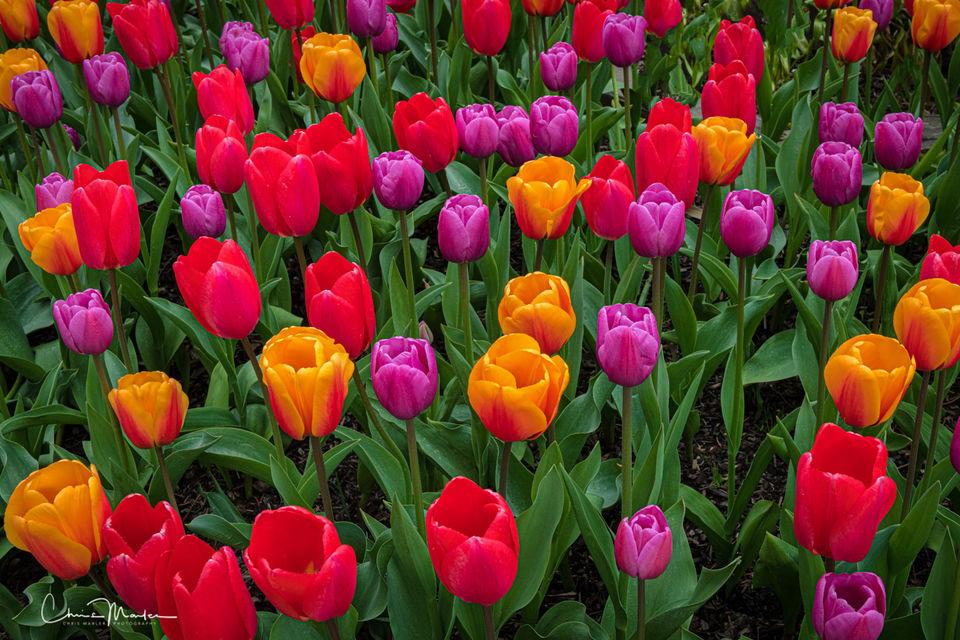 tulips, flowers, wildflowers, colorful, Washington, Skagit Valley