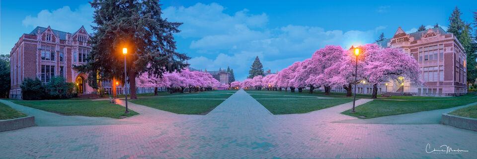 Spring Fever, University of Washington Cherry Trees, University of Washington in Seattle, cherry blossom photos, cherry tree photos