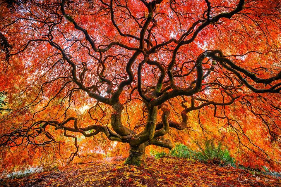 Japanese Maple, tree, Seattle, Washington, color, fire, autumn, dramatic, garden