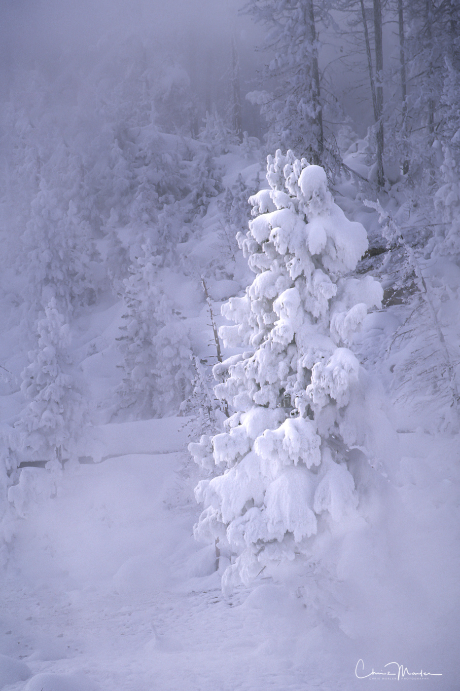 Yellowstone National Park, Wyoming, ghost tree, snow, winter, cold, fog, vertical, photo