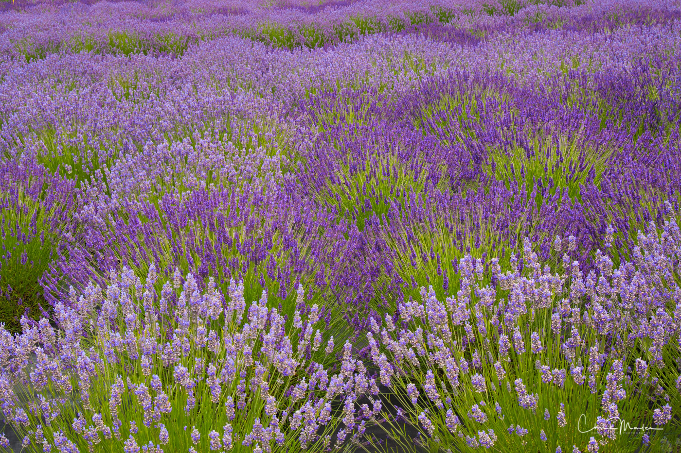Purple Lavender field in the San Juan Islands of Washington state.  These beautiful flowers not only look great, but they smell...