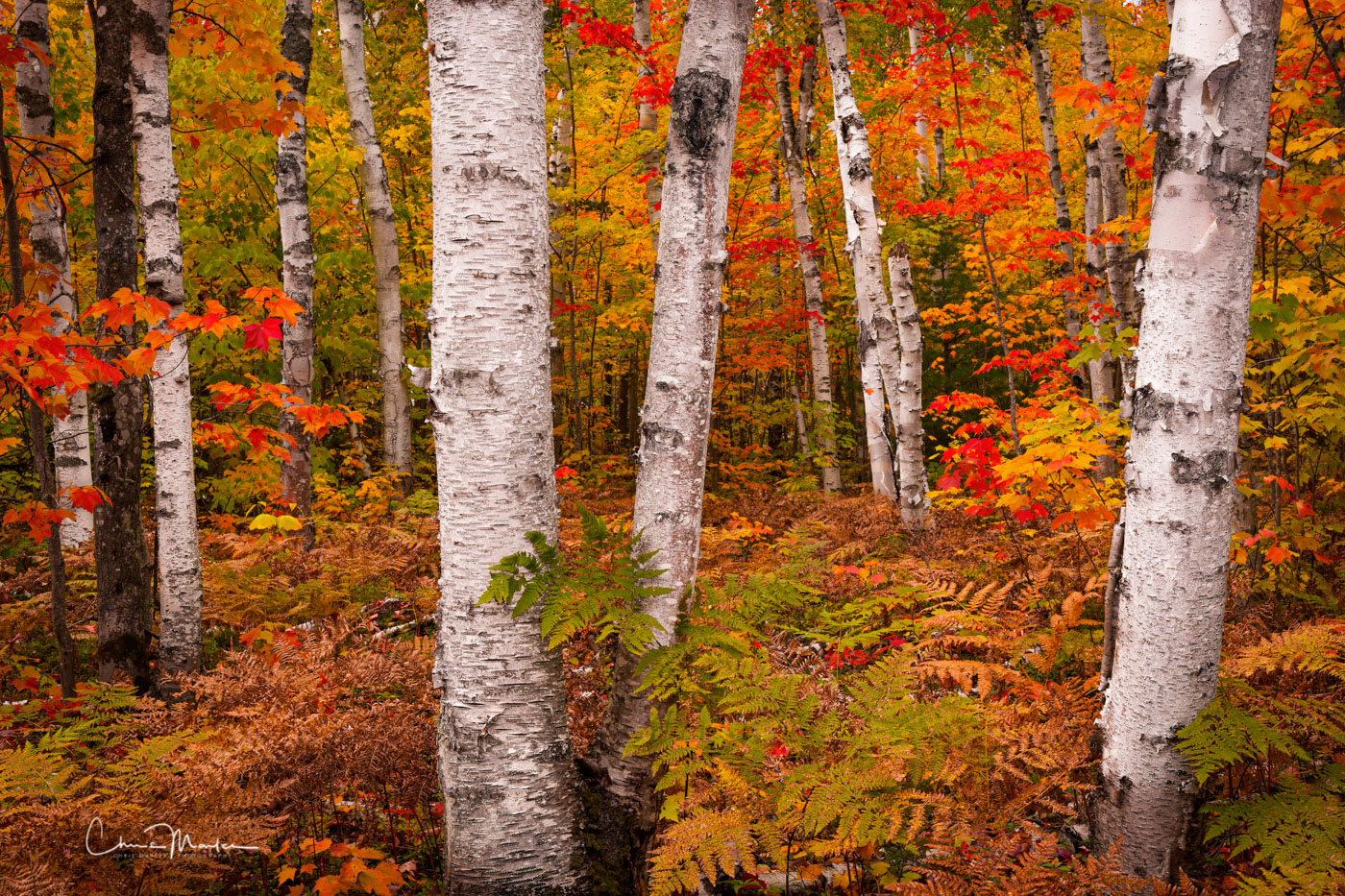 Michigan's White Birch Forest is located within the Pictured Rocks National Lakeshore of the Upper Peninsula.  The white-barked...