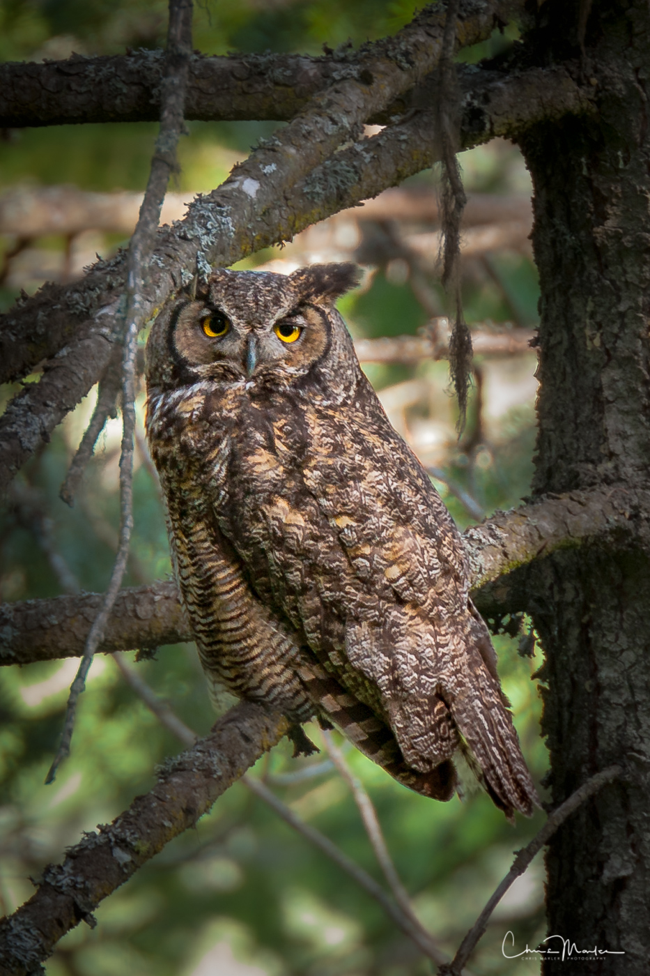 stare down, Great Horned Owl, Kamiak Butte State Park, sound of a great horned owl, photo
