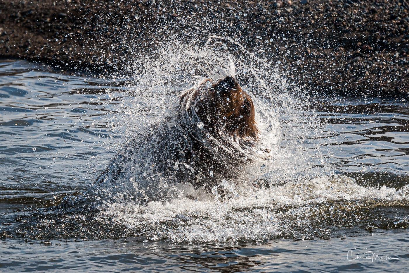 Grizzly, bear, shake, water, Lake Clark National Park, Alaska, wildlife, photo
