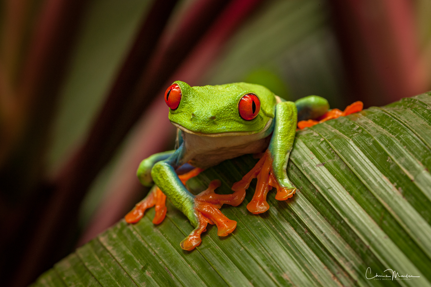 red eye, Costa Rica frogs, La Paz, Red eyed Tree Frog,, photo