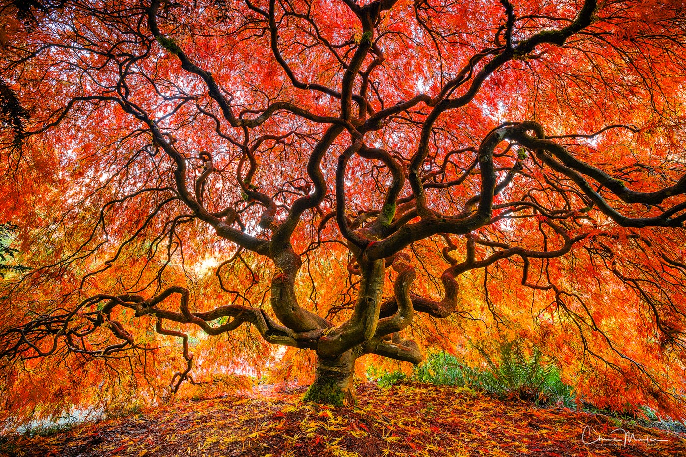 fire tree, Japanese Maple tree, Japanese maple in autumn, fall foliage, photo