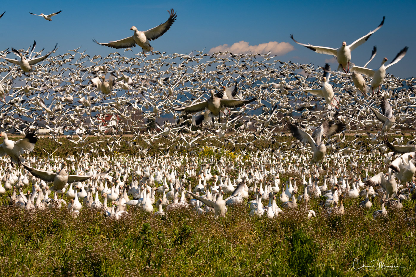 Skagit Valley, snow geese, frenzy, take off, birds, photo