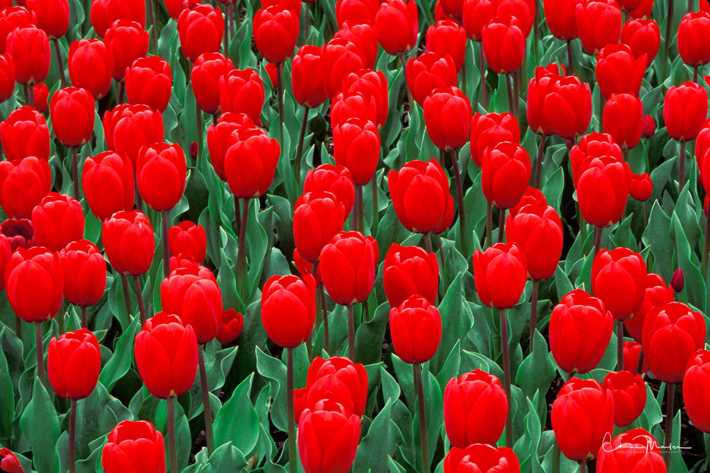 If it's a sea of red you are looking for, this is your image.  The Skagit Valley tulip fields vary in color and size, but the...