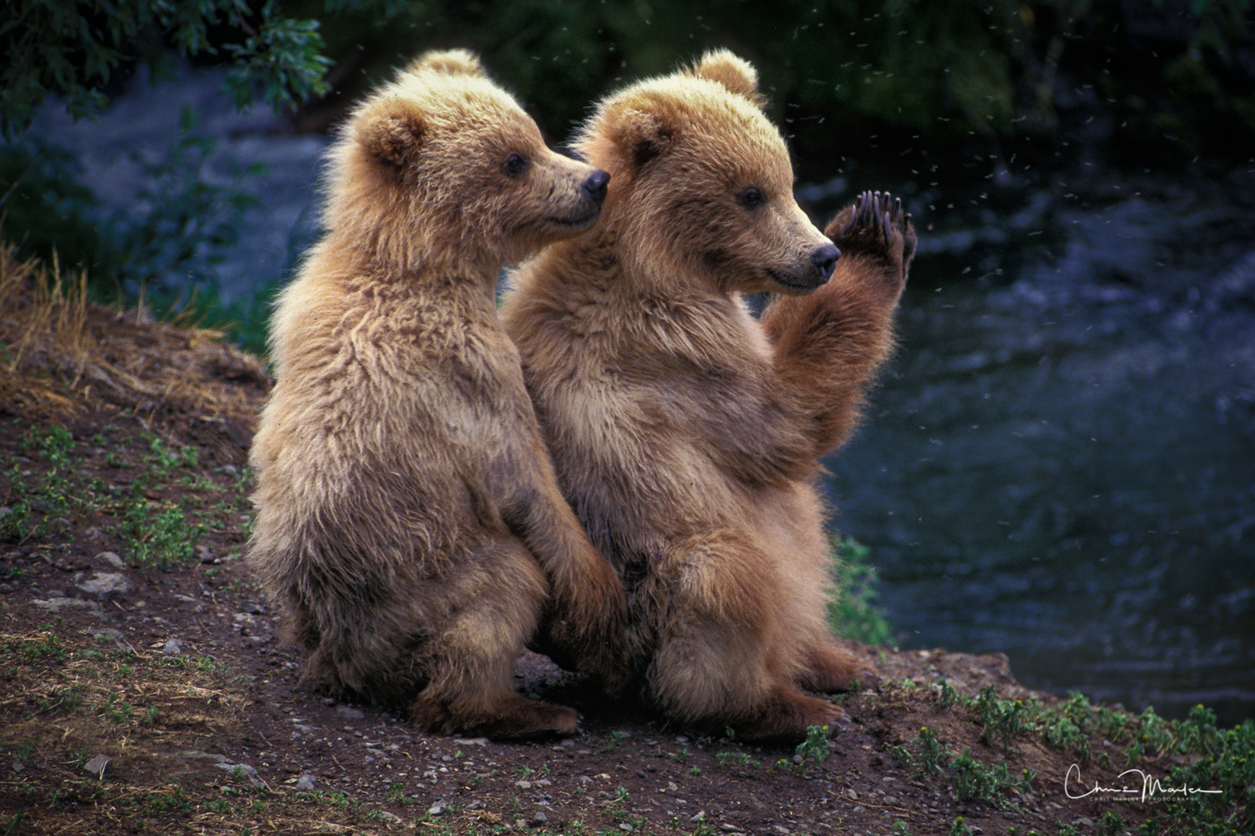 grizzly, cubs, Katmai, Alaska, amen, cute, photo